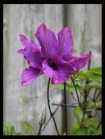 The first clematis by Brigitte-Fredensborg