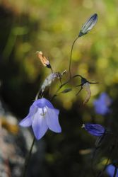 Bluebell by sHavYpus