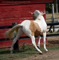 gold champagne stallion 2 by venomxbaby
