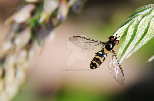 Hoverfly by Redwingsparrow