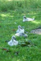 Swans by darthsabe