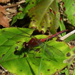 Red Dragonfly by ezo