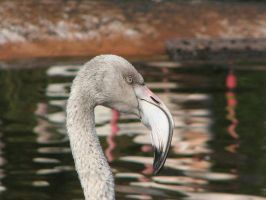 Flamingo. --1 by Archaeismus