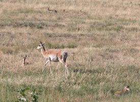 Antelope family 2 by DocMallard