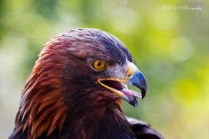 tawny eagle by PiTurianer