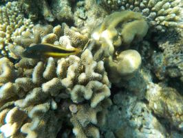 Black-sided hawkfish by Kooskia