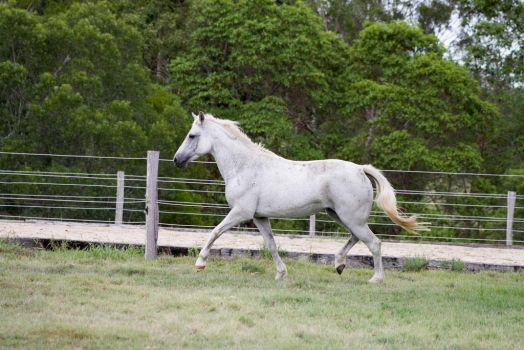 Dn white pony trot side view by Chunga-Stock