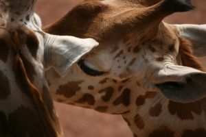 Giraffe Love by SkankinMike