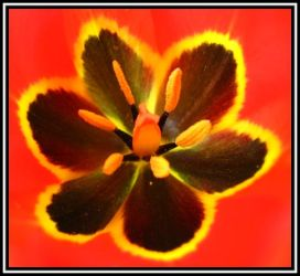 Inside a Tulip by Pimpernel