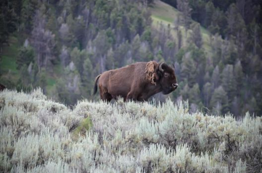 Bison Herd 10 by liorelysia
