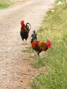 Roosters by Earthmagic
