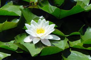 Water Lilly by swashbuckler