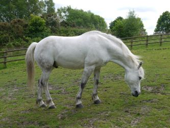 white horse stock 51 by HumbleBeez