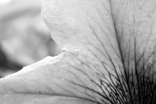 BW Flower Macro 2 by Sooner266