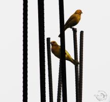 Birds in the iron bars by Mallophora