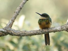 Rufous-tailed Jacamar by BrunoDidi