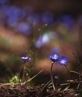 Glade with hepatica by LordBurevestnik