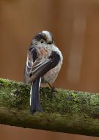 Long Tailed Tit 1 30-3-18 by pell21
