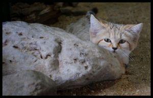 sand cat: hidden by morho