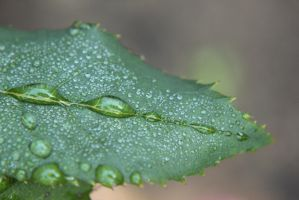 Drops On A Leaf by Kimicat1