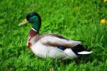 Beauty Colored Male Duck by LoveForDetails