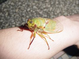 cicada the cat dragged in 2 by zenkatydid