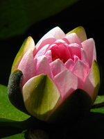 Pink water lily by PhotographyFace