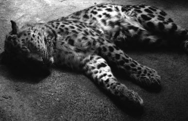 Sleeping Leopard by fablehill