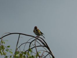 Goldfinch on high by setanta5