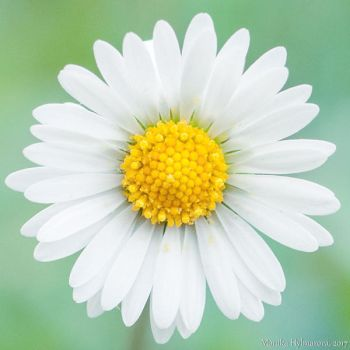 Daisy Centered by amrodel