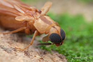 Ship-Timber Beetle by melvynyeo