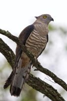Pacific Baza by strictfunctor