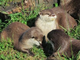 Otter Family by 29steph5