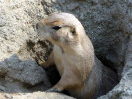prairie dog by Lionpelt-66