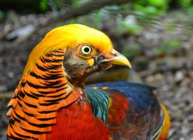 Golden pheasant by Shadow-Amethyst13