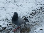 Snow Pigeon by wolfwings1