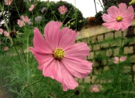 Pink cosmos by Rita09