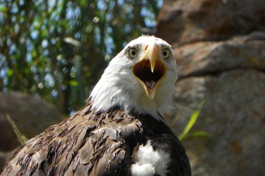 Molting Bald Eagle by DingoDogPhotography