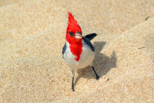 Red-crested Cardinal by DuffyGraham