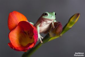 Frog on a Freesia by AngiWallace