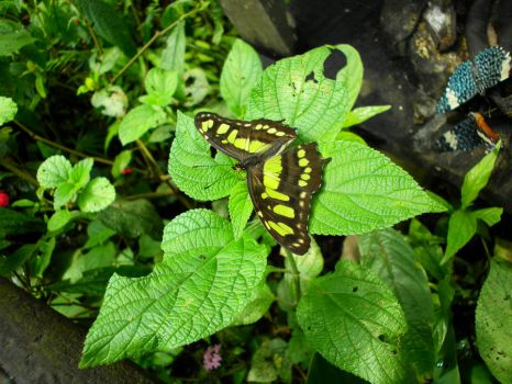 Toas Swallowtail by TheBuggiest