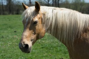 Palomino by MauserGirl