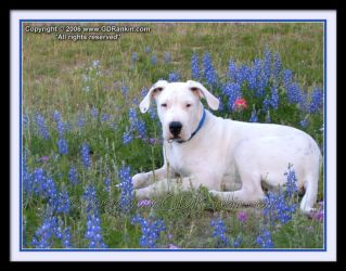 Red White and Bluebonnets by GD-litenin