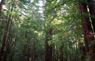 redwoods 2 by shyfoxling