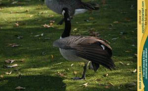 Canadian Goose 2 by RoonToo