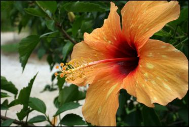 Yellow Hibiscus by PLazarou