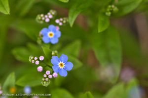 Forget Me Nots 2013 by MSimpsonPhotos