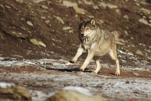 Wolf1 by Prinzess-Stock