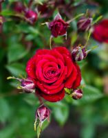 A rose by any other name by TakerofPhotos