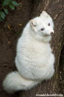 Arctic Fox III by amrodel
